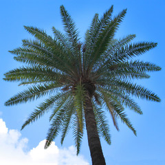 coconut palm trees in front of blue sky