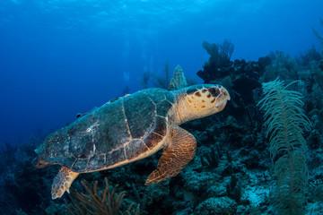 Loggerhead Turtle 1