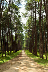 View of a Pine Plantation