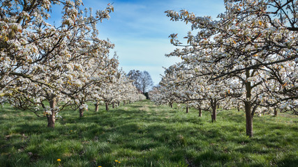 rows of blossoming cherry trees