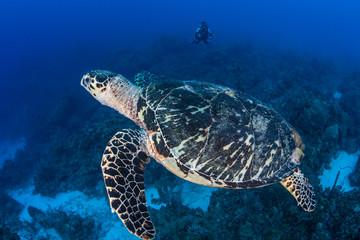 Hawksbill Turtle 4