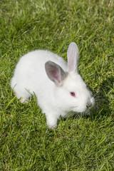 Weißes Kaninchen Albino