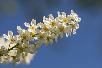 bird cherry in spring