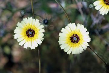 Florecillas silvestres herbaceas, Sauceda, Hurdes, España