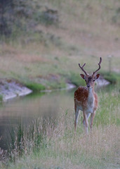 Wall Mural - Deer next to the water