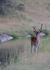Fototapete - Deer next to the water