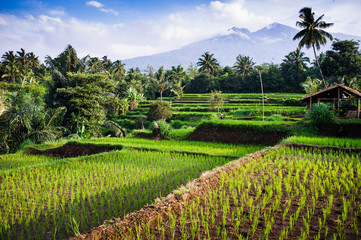 Foto op Canvas Indonesië Rice fields, background Mt. Rinjani, Senaru, Lombok, Indonesia,