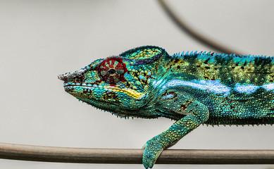 chameleon of reunion island