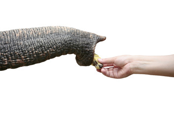 elephant trunk and body part on white background