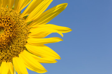 Piece of sunflower with blue sky