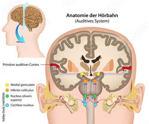 Anatomie der Hörbahn, Auditives System\