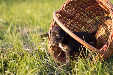 Little puppy standing in the basket, outdoor shot