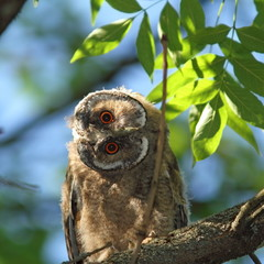 asio otus juvenile in tree