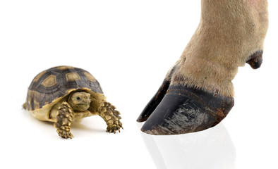 turtle and cow hooves on white background.