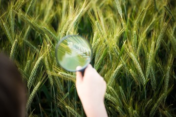 child looks at the rye through a magnifying glass