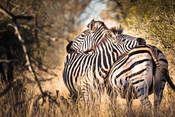 Foto op Plexiglas Afrika Zebra in love