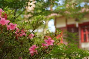 つつじの花の咲く季節