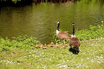 Canada geese and goslings on the riverbank © Arena Photo UK