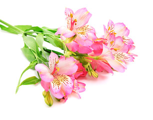 Rosy Alstroemeria Lily Spray isolated on white background
