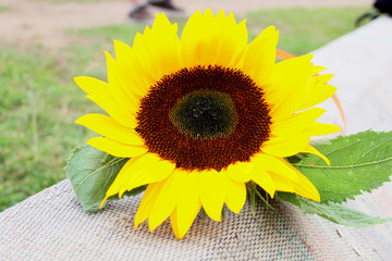 Single sunflower is lying on the grass