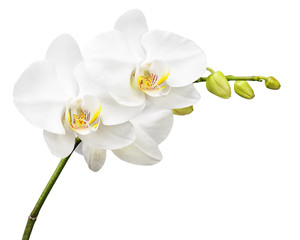 Three day old orchid isolated on white background.