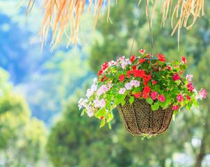 Petunias or  Petunia hybrida Vilm in hanging pots