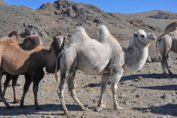 Двугорбые верблюды в горах