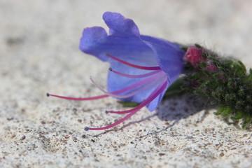 Blueweed Blossom