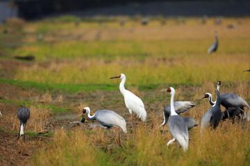 Siberian Crane (Grus leucogeranus) in Japan