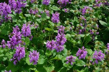 Lila Blumengarten im Juni