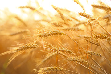 Photo sur Plexiglas Culture Wheat field