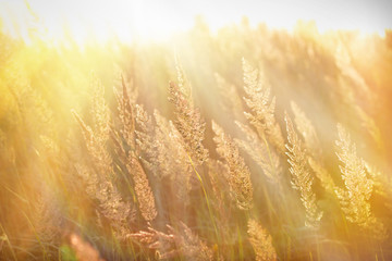 Sun rays in the high grass