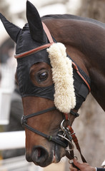 Race horse head ready to run