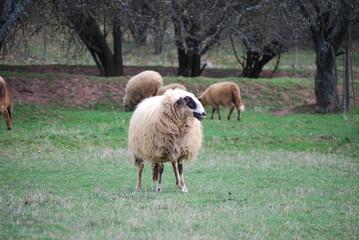 Sheeps at village