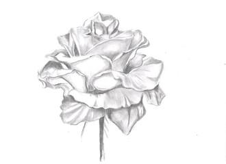 Pencil drawn illustration of rose