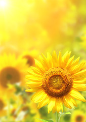 Fototapete - Bright yellow sunflowers