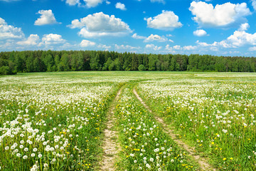 summer rural landscape with a blossoming meadow