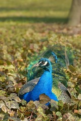 Peacock (Pavo cristatus), a male resting in the leaves of ivy
