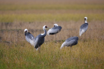 White-neped crane (Grus vipio) in Izumi,Japan