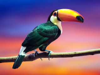 Poster Toekan Toco Toucan against sunset sky