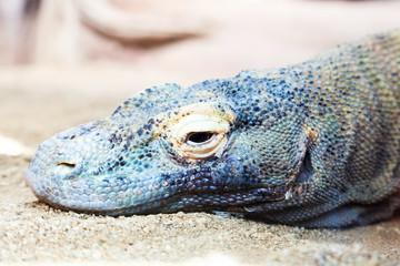 Head of Komodo dragon