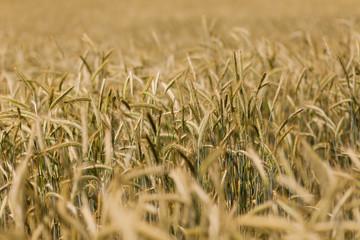 Fotoväggar - Wheat field in the countryside