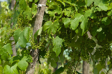 Fototapete - Young grape clusters in spring