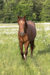 horse on the meadow with daisies