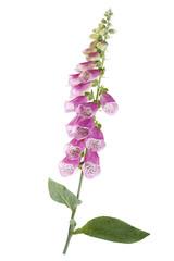 Obraz Digitale-Fleur médiciname - fototapety do salonu