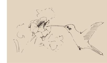 humming-bird, illustration, engraved  style