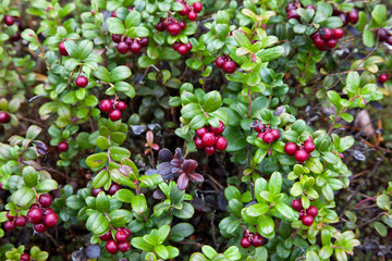 Bush of cowberry or foxberry in forest