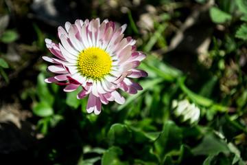 daisy, rose petals, pink, garden
