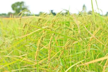 Gold rice plant