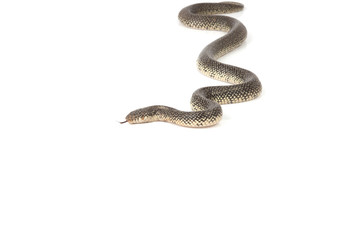 Speckled King Snake